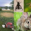 Tularemia is a disease of animals and humans caused by the bacterium Francisella tularensis. Rabbits, hares, and rodents are especially susceptible and often die in large numbers during outbreaks. Humans can become infected through several routes. Image-CDC