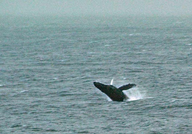 Humpback whale breaching in the waters off Cape Alitak, May, 2010.
