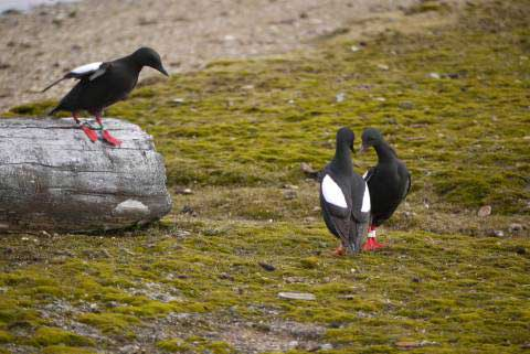 Black Guillemots are mating and laying their eggs earlier each spring due to a changing Arctic climate. Photo Courtesy of Mike Morrison/ Friends of Cooper Island via NOAA