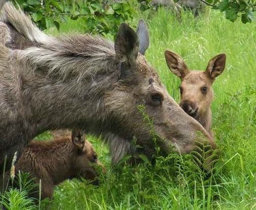 Best Way to Save Young Wildlife: Leave Them Alone