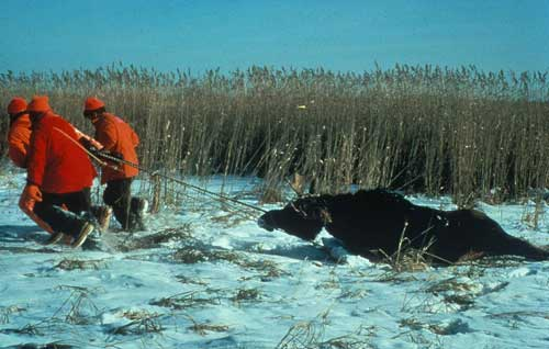 Moose hunting group drags a captured moose. Image-U.S. Fish and Wildlife Service
