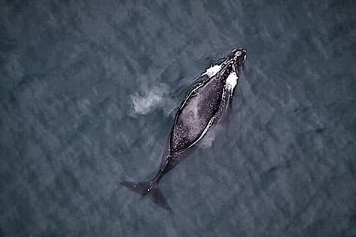 North Pacific right whale Photo: NOAA Fisheries