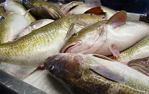 Pacific Cod. Image-Alaska Fisheries Science Center
