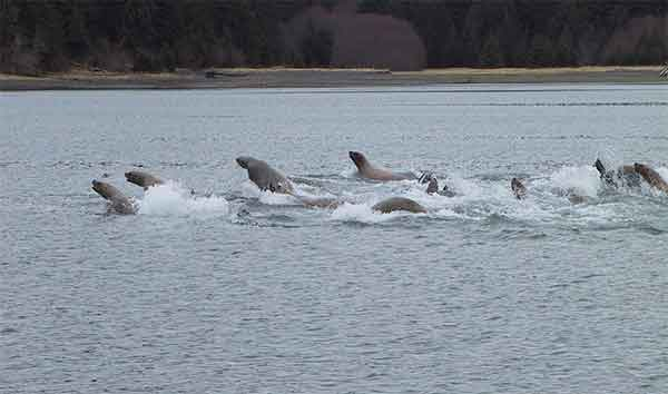 Steller sea lions on a cooperative foraging excursion  Photo: Mike Sigler, NOAA Fisheries