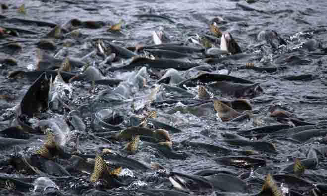 Alaska Commercial Salmon Harvest at 15 Million and Rising