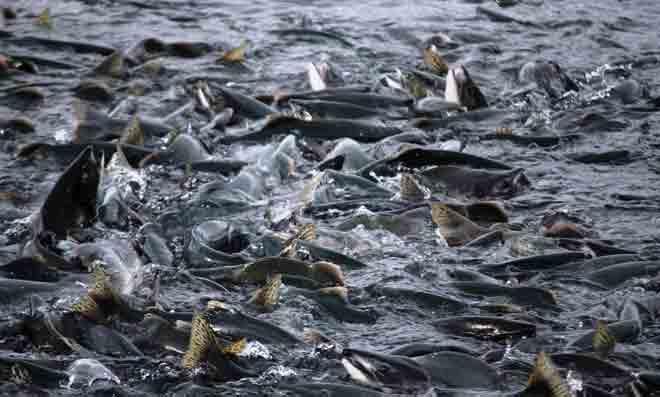 Salmon Deliveries to Alaska Processors Reach 192.7 Million