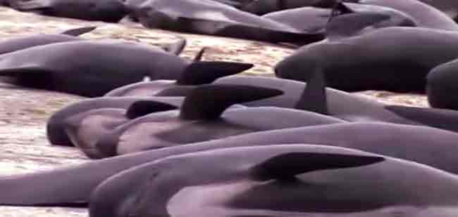 Hundreds of Pilot Whales have died on the South Island of New Zealand in the past two days.