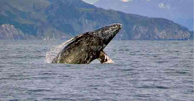 Gray whale breaching Photo: Merrill Gosho, NOAA Fisheries