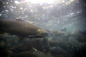 King Salmon. Image-Public Domain