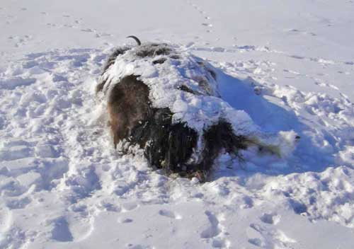 One of three muskox found slain near the headwaters of the Colville River. Image-AST