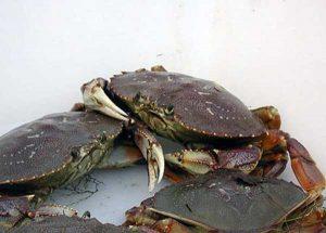 Dungeness Crab. Image-ADF&G