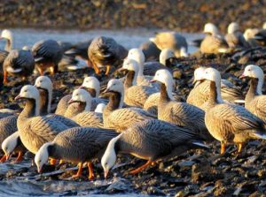 Emperor Geese. Image-USGS