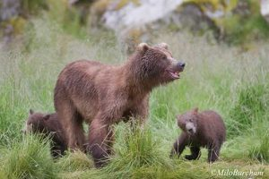 Grizzly mother and cubs in Alaska. Image-Milo Burcham/USDA