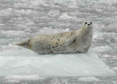 A harbor seal in Glacier Bay National Park and Preserve. NPS photo by Jamie Womble.