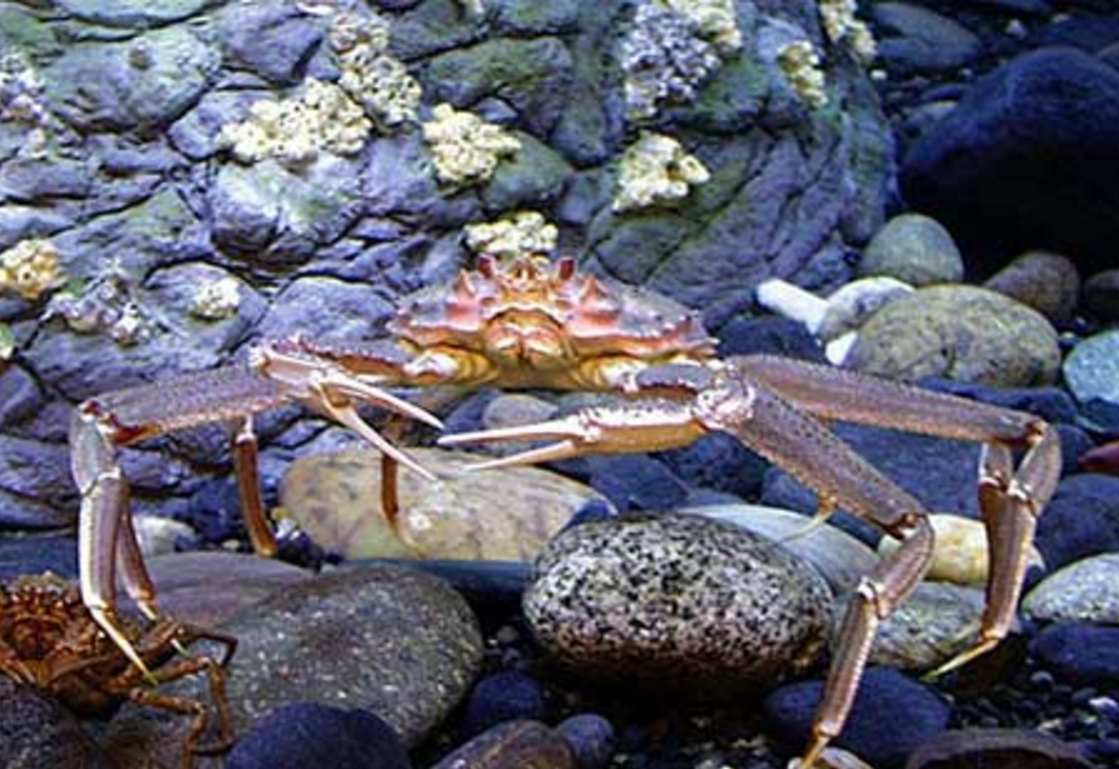 An adult Tanner crab. Photo credit: NOAA Fisheries