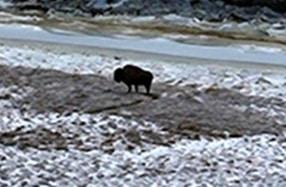 Wood Bison no, 124 on the flats near Quinhagak. Image-ADF&G