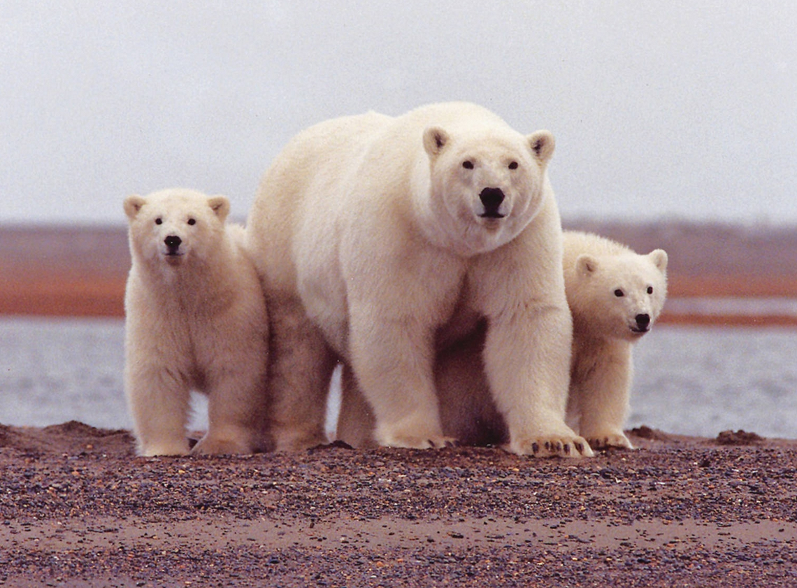 Polar Bear Sow and Cubs along Beaufort Sea. Image-USFWS
