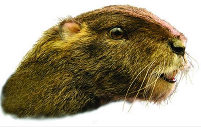 Scientists Discover Fossil of Bizarre Groundhog-Like Mammal on Madagascar