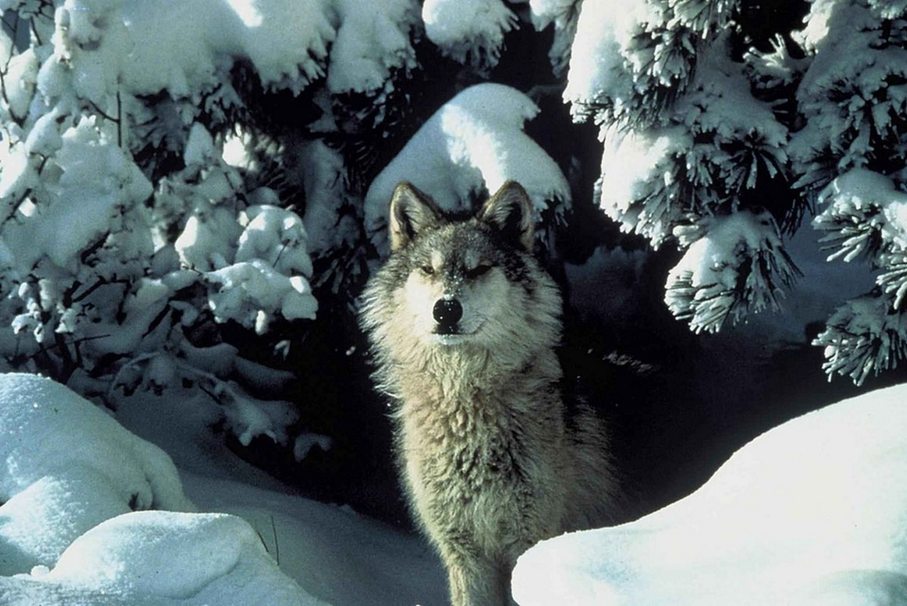 USFWD has proposed a rule banning predator control on Alaskan Wildlife Refuges. Image-Tracy Brooks/USFWS