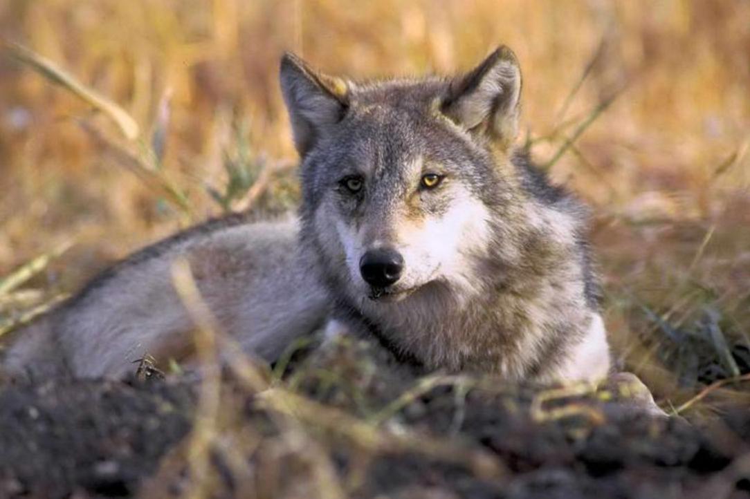 Wolf. Image-Public Domain