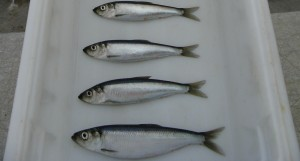 Herring. Image-NOAA Fisheries