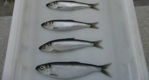 Herring. Image-NOAA Fisheries