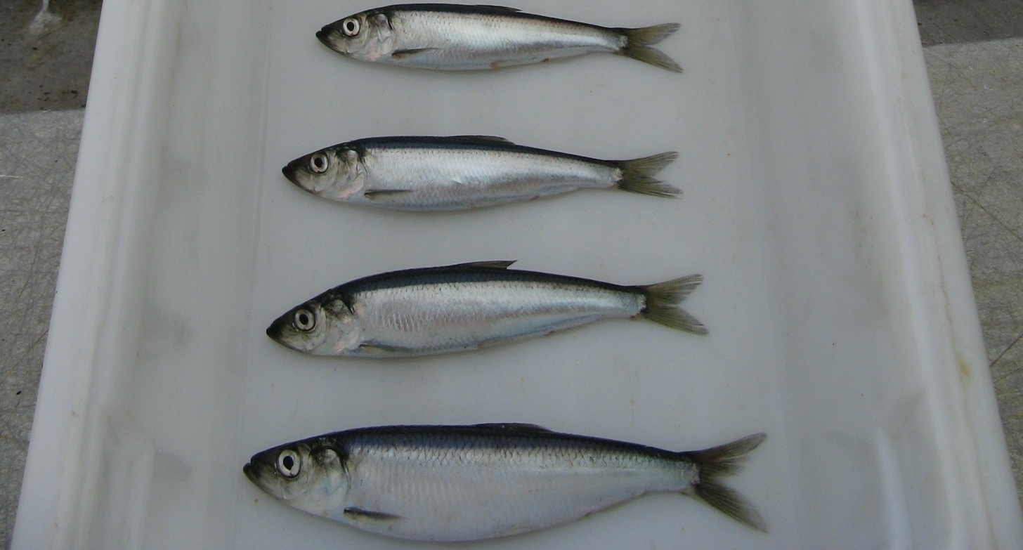 Delayed Effects of Oil Spill Compromise Long-Term Fish Survival