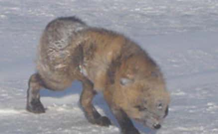 A rabid fox encountered on the North Slope. Image-ADF&G