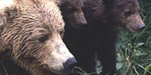 Brown Bear sow and cubs. Image-ADF&G