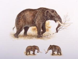 A mastodon, compared beneath to a woolly mammoth. Illustration by George Rinaldino Teichmann, courtesy of Grant Zazula, Yukon Palaeontology Program.