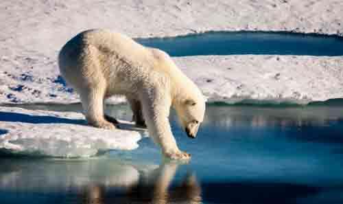 A polar bear tests the strength of thin sea ice.Mario Hoppmann/imaggeo.egu.eu