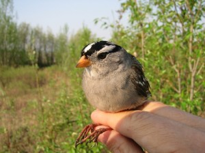 A white crown sparrow that researcher Niels Rattenborg captured in south Fairbanks. Niels Rattenborg photo.