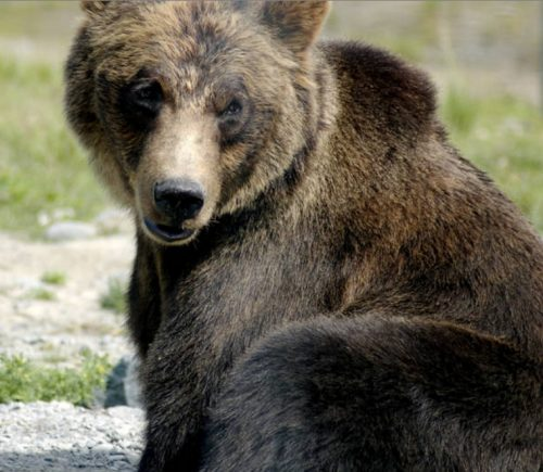 Kenai Peninsula Spring Brown Bear Harvest Suggests New Rules May Be Working