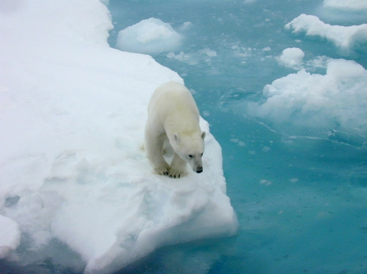 Polar bears depend on sea ice for dens, food and mating. The loss of sea ice is affecting some polar bear populations and health. (Credit: Kathy Crane, NOAA)