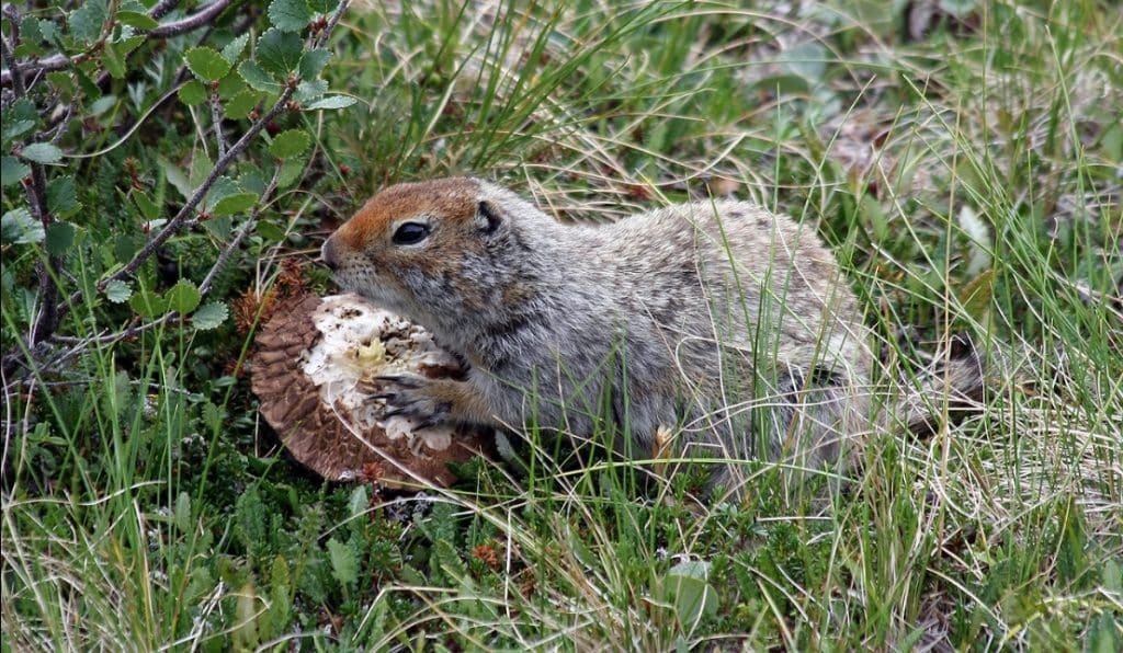 An Arctic Ground Squirrel eating a mushroom. Image- Ianare Sevi / Creative Commons