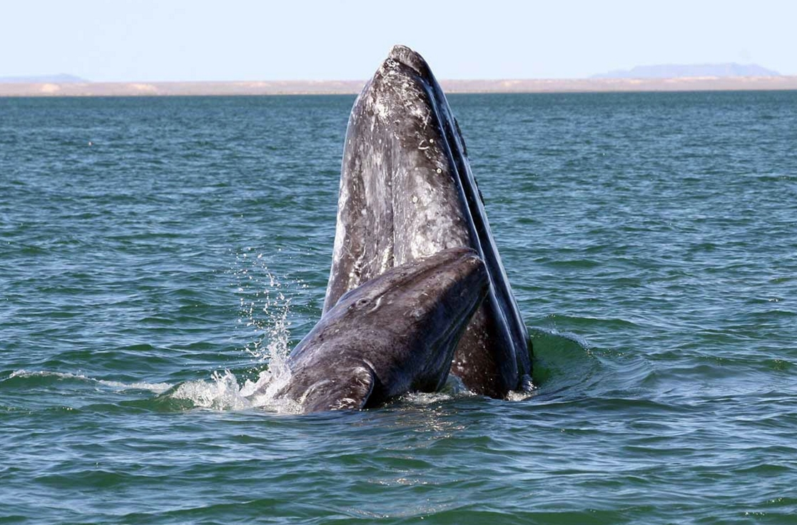 A gray whale mother and calf. Credit: NOAA