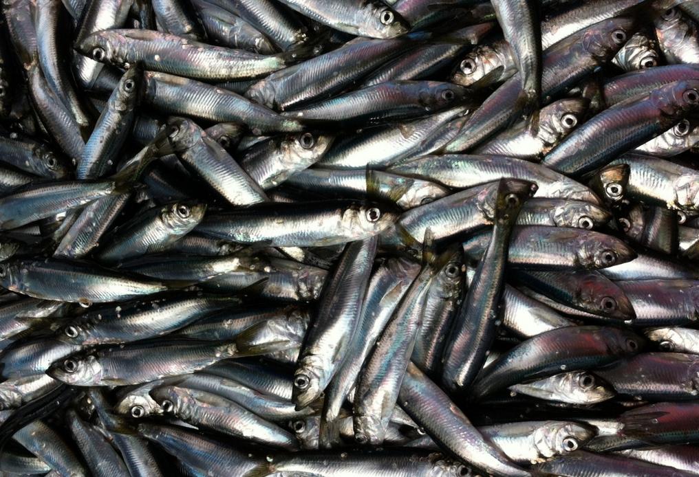 Young adult herring.Margaret Siple/University of Washington