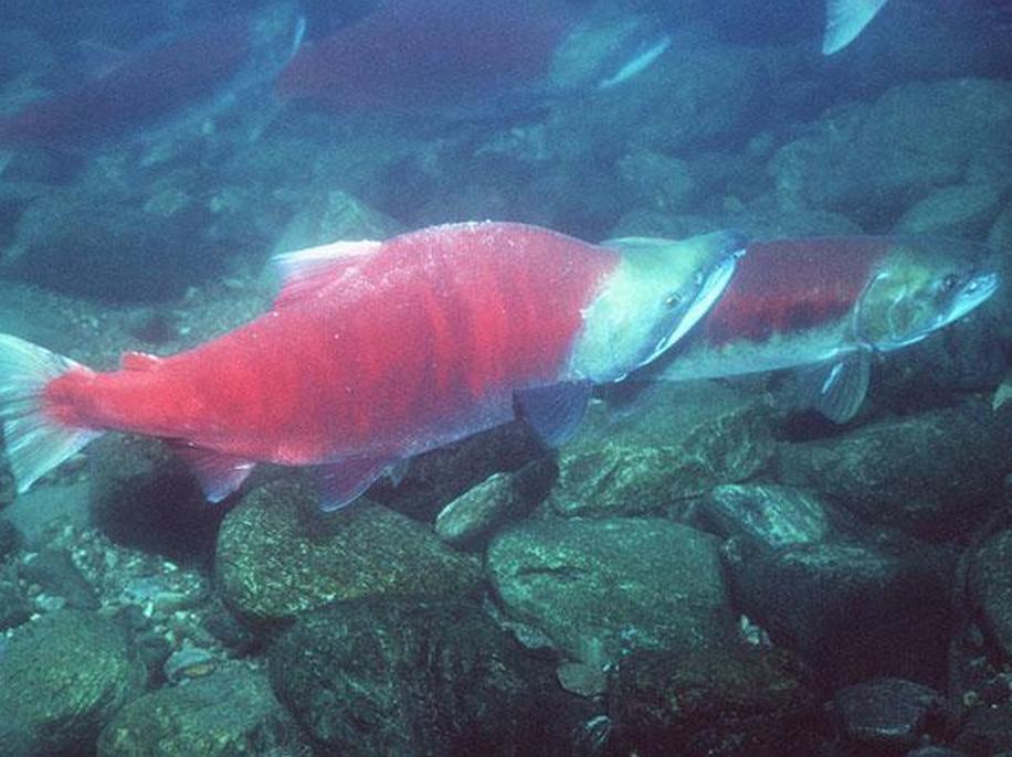 Sockeye Salmon. Image-NOAA