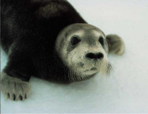 Judge Beistline Vacates Listing of Bearded Seals