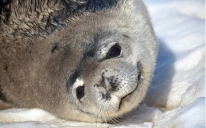 A Weddell seal in Antarctica. NSF-funded research indicates they may use the Earth's magnetic field to navigate.  Credit: Peter Rejcek, NSF