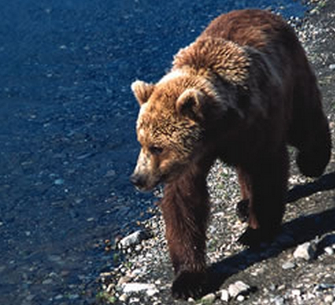 Brown Bear. Image-Jim Pfeiffenberger/National Park Service