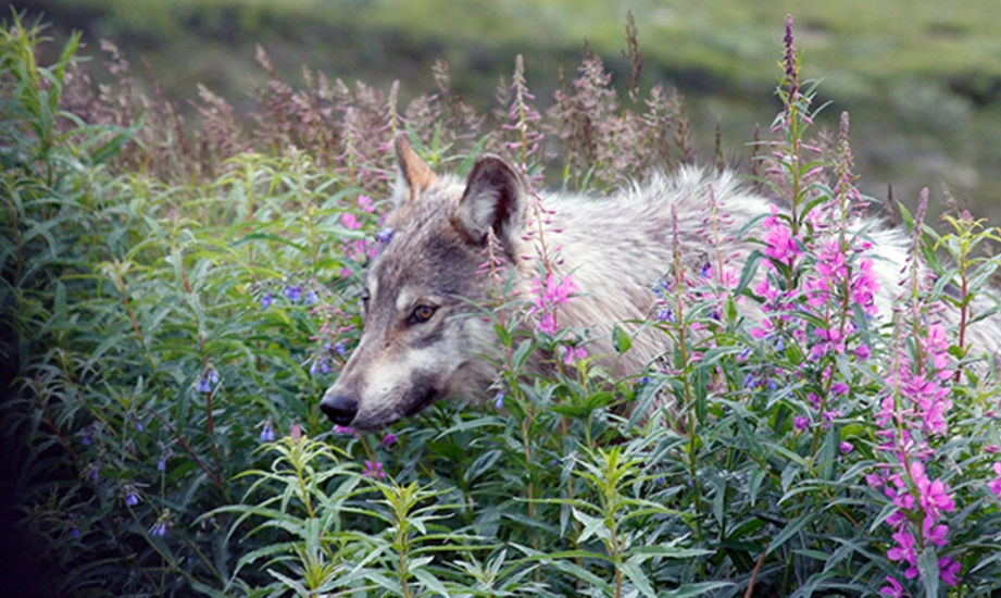 A wolf in Denali.National Park Service