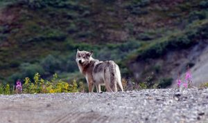A wolf on the road in Denali.National Park Service