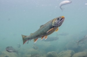 Dolly Varden with mature spawning coloration in Alaska's Newhalen River.Morgan Bond