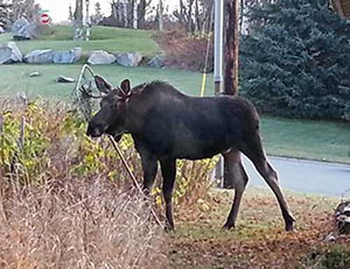 This young bull moose became entangled in a landing net in an Anchorage neighborhood. Alaskans who live in moose country should take precautions to guard against moose entanglements. ©ADF&G