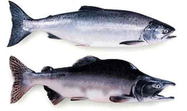 Pink Salmon. Image-State of Alaska