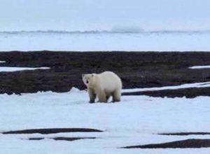 A polar bear north of Barrow. Photo by Ned Rozell.
