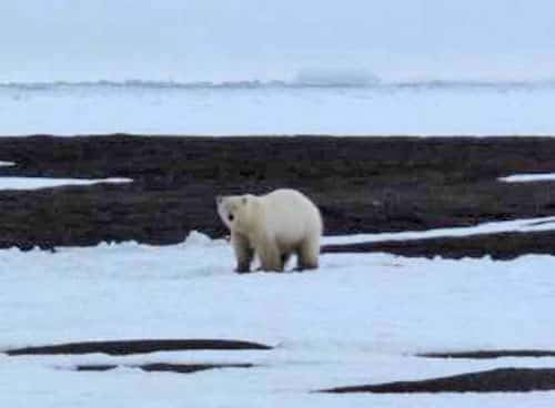 A polar bear north of Barrow. Photo by Ned Rozell.