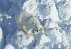 A polar bear walks across rubble ice in the Alaska portion of the southern Beaufort Sea, April 8, 2011(Credit: Mike Lockhart, USGS. Public domain.)