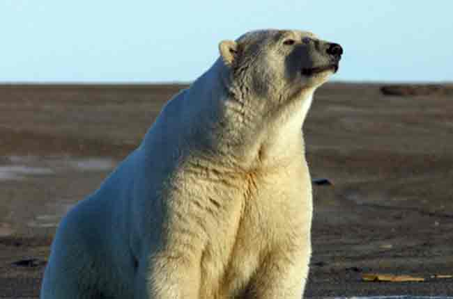 A polar bear at Barter Island. (Photo: Christopher Putnam/USFWS)